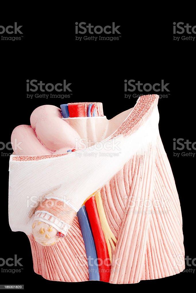 Fotografía de Hernia Inguinal y más banco de imágenes de Anatomía ...