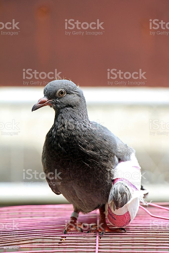 Injured birds, Pigeon with a broken wing stock photo