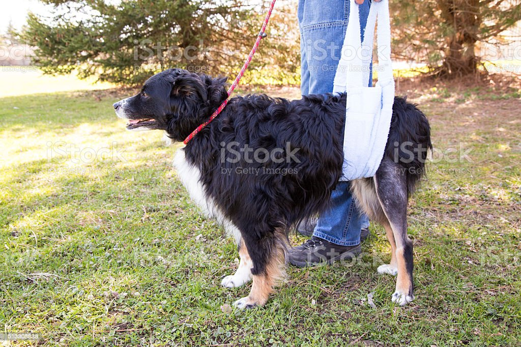 injured dog in support sling Dog recovering from TPLO surgery walking with sling support Adult Stock Photo
