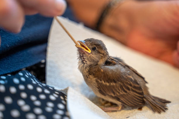 Injured little sparrow is fed by hand by an old woman stock photo