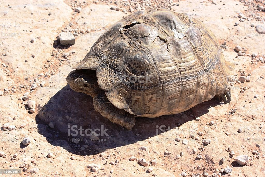 Injured old turtle stock photo