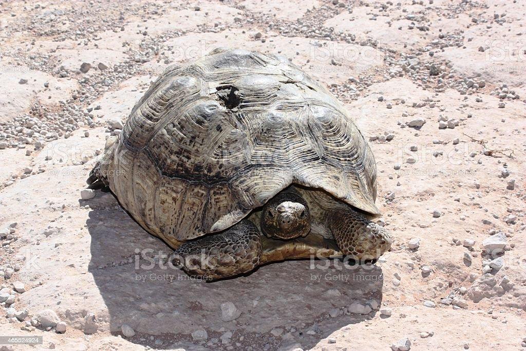 Injured old turtle stock photo
