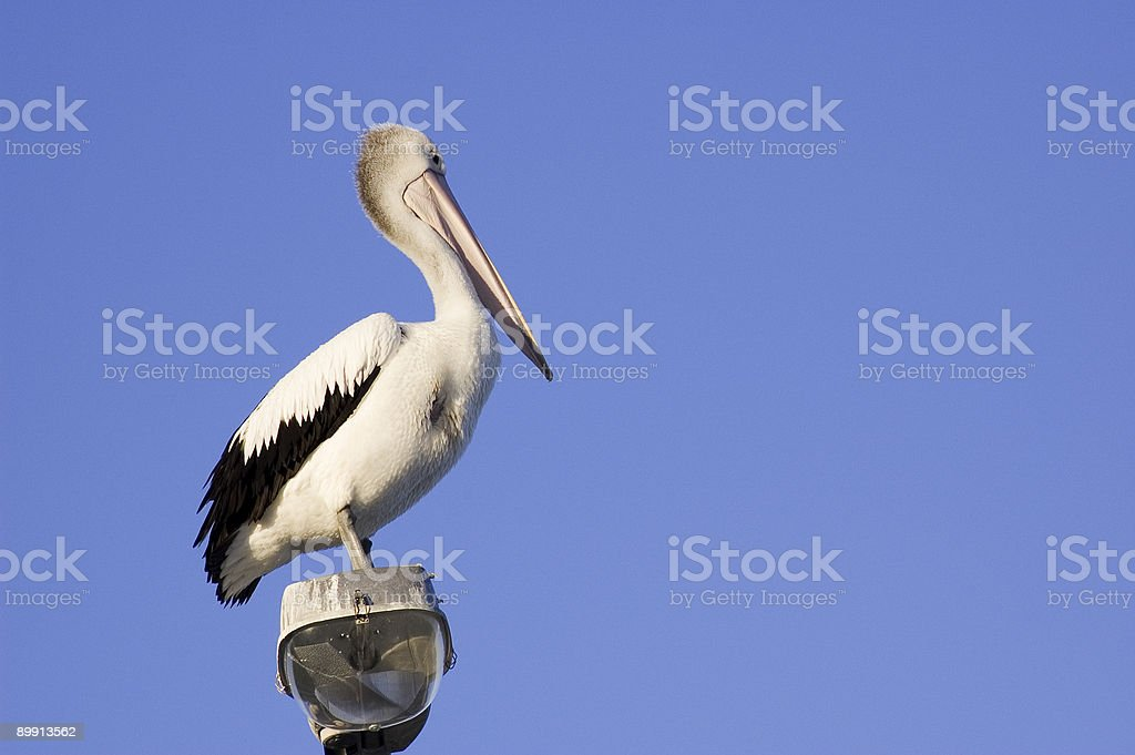 Injured Pelican royalty-free stock photo