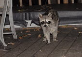 Adult raccoon missing an arm.   Searching for food on deck.