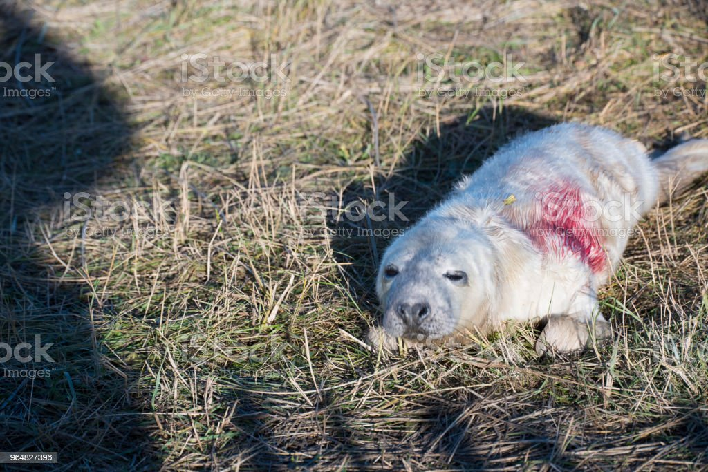 Filhote de foca feridos - Foto de stock de Animal royalty-free
