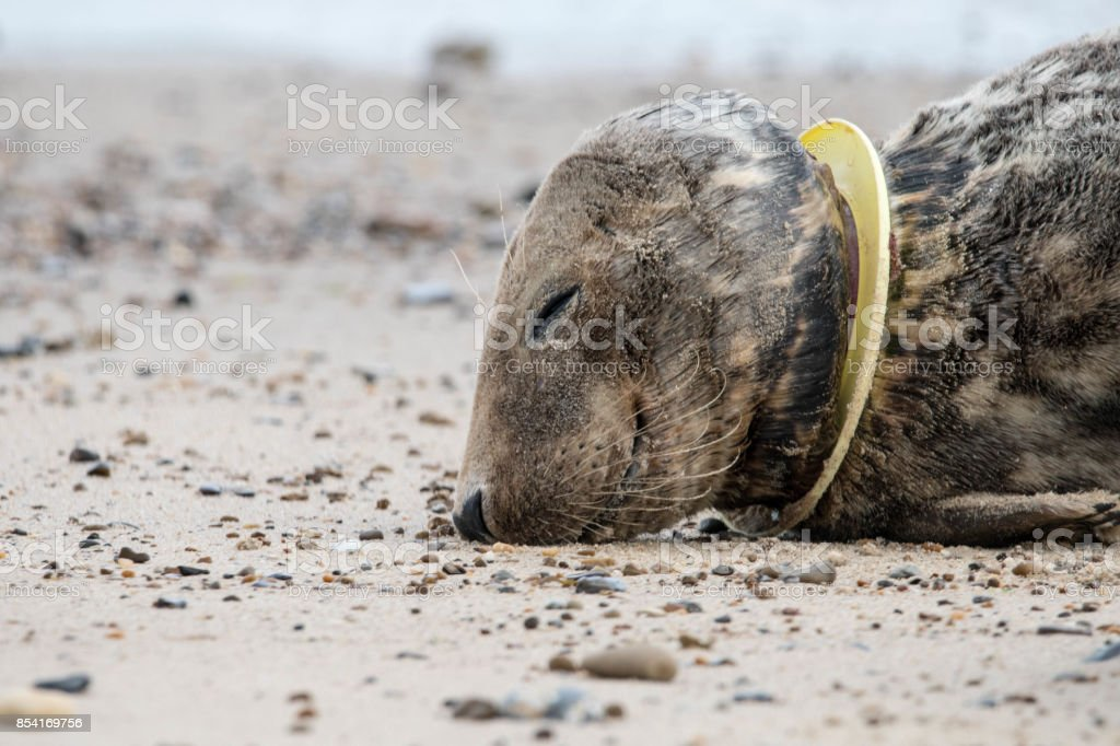 injured seal with frisbee stuck on neck stock photo