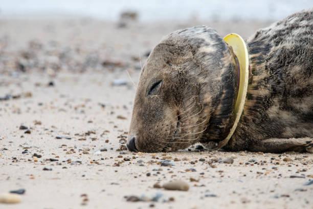 Verletzte Siegel mit Frisbee stecken auf Hals – Foto