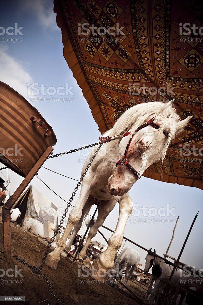 injured white horse at the pushkar fair in india royalty-free stock photo