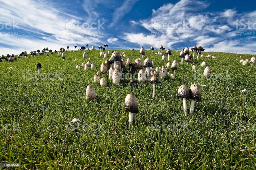 Ink Cap Mushrooms on Grassy Hillside royalty-free stock photo