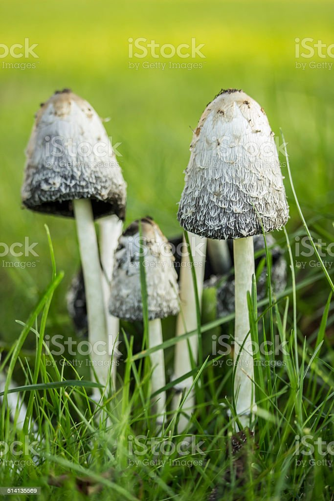 Ink Caps in Grass stock photo