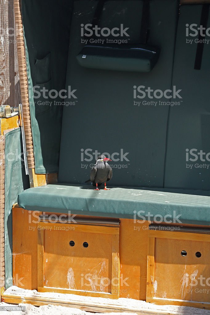 Inka-Seeschwalbe stock photo
