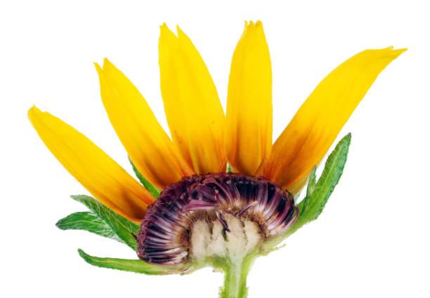 inneren schnitt der sommer knospen in einem kleinen gelben rudbeckia - lila, grün, schlafzimmer stock-fotos und bilder