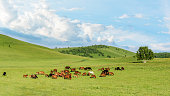 Pasture horses on the grasslands of Inner Mongolia, China