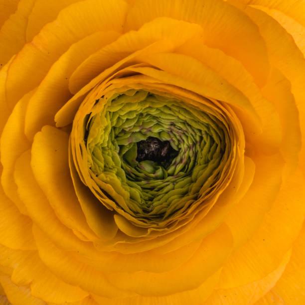 Inner Ranunculus stock photo