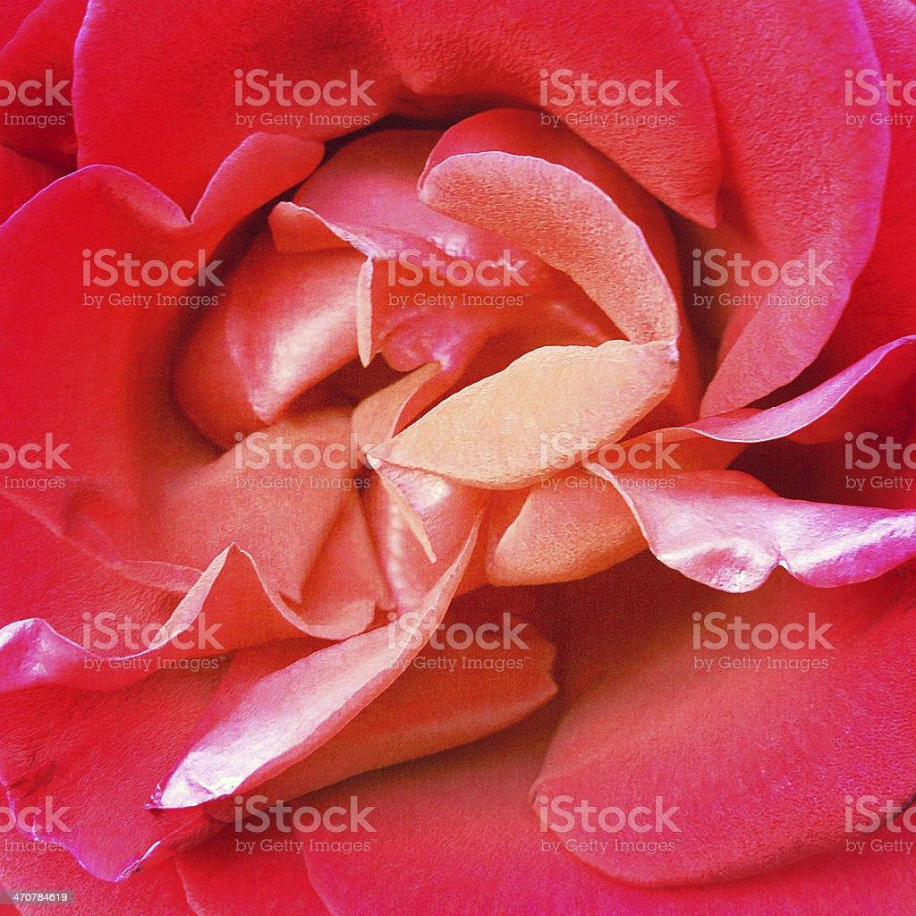 Inner Rose stock photo