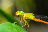 Innocent bug eaten by Dragonfly in garden