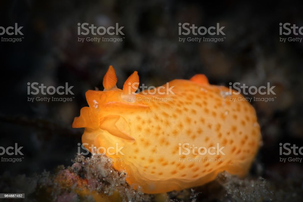 Inornate Gymnodoris, dark background royalty-free stock photo