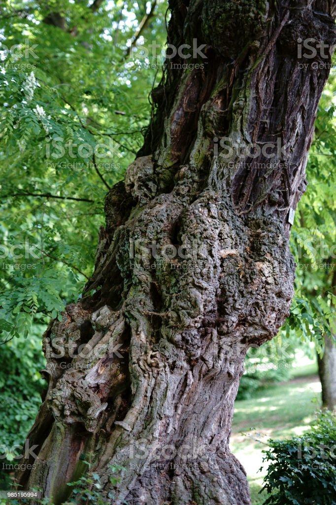Inosculación en el árbol - foto de stock