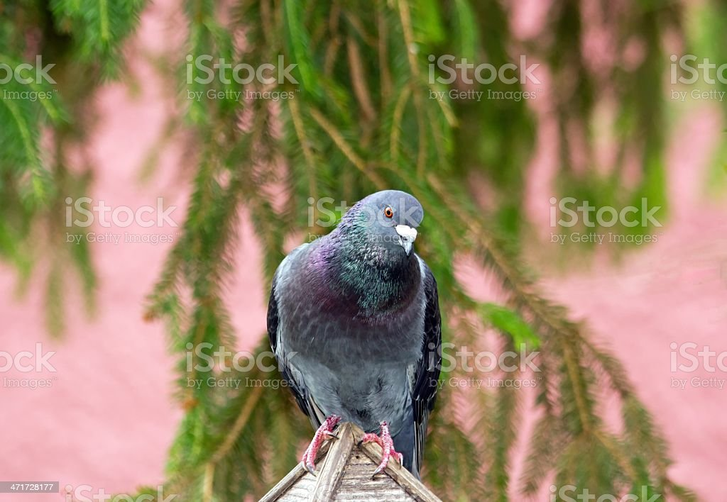 Inquiring pigeon royalty-free stock photo