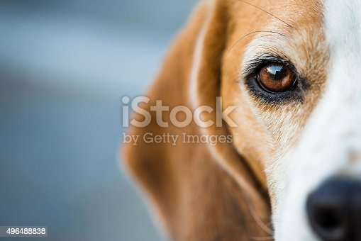 Half portrait of a Beagle hound looking intently at the viewer