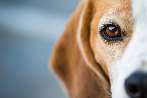 Inquisitive Beagle Hound