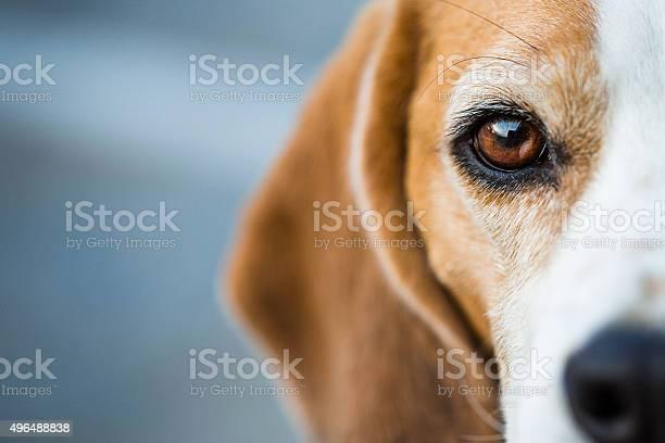 Inquisitive beagle hound picture id496488838?b=1&k=6&m=496488838&s=612x612&h=mys6iclg yawfikkw2ikt2eu0pbcimr1v ri1iw6vjc=