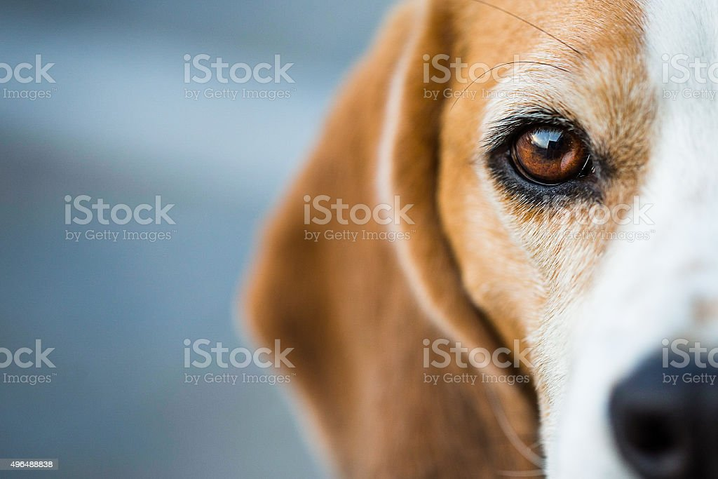 Hound Beagle inquisitiva - foto de stock