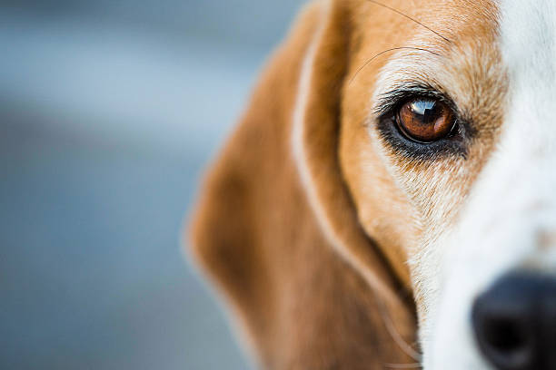 Inquisitive Beagle Hound Half portrait of a Beagle hound looking intently at the viewer snout stock pictures, royalty-free photos & images