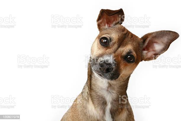 Inquisitive chihuahua picture id120927079?b=1&k=6&m=120927079&s=612x612&h=xatbfjisosjqmycc mnpfx vsycghjmpgvamconadn8=