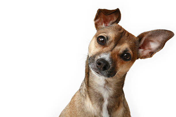 Inquisitive Chihuahua stock photo