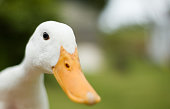 Close up of an inquisitive duck. Shallow depth of field: sharp focus on the eye.