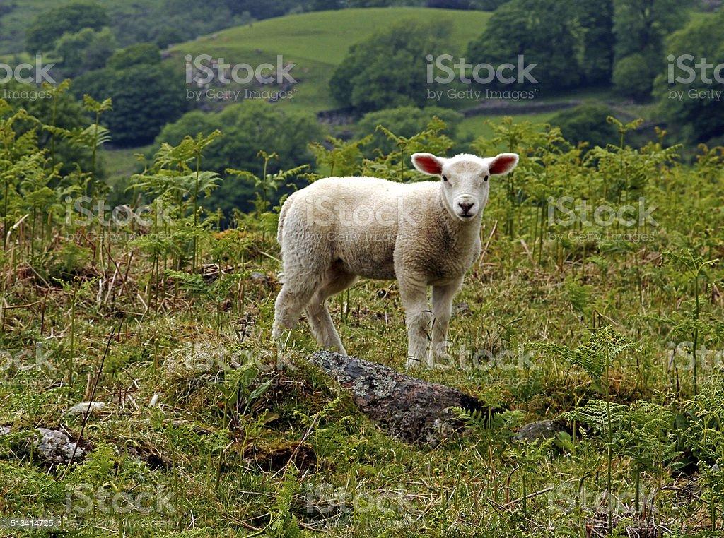 Inquisitive Lamb stock photo