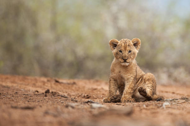 Inquisitive Lion Cub Inquisitive Lion Cub looking at the camera lion cub stock pictures, royalty-free photos & images