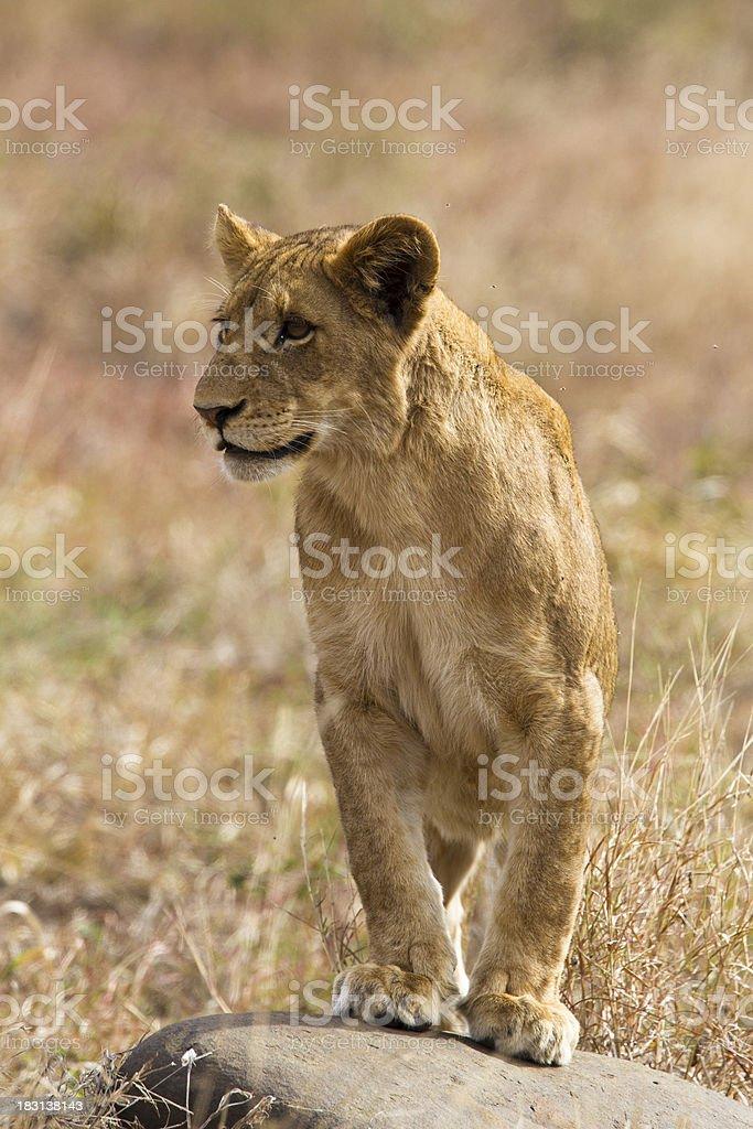 Inquisitive Lion Cub stock photo