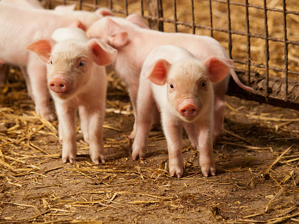 Inquisitive little pigs stock photo