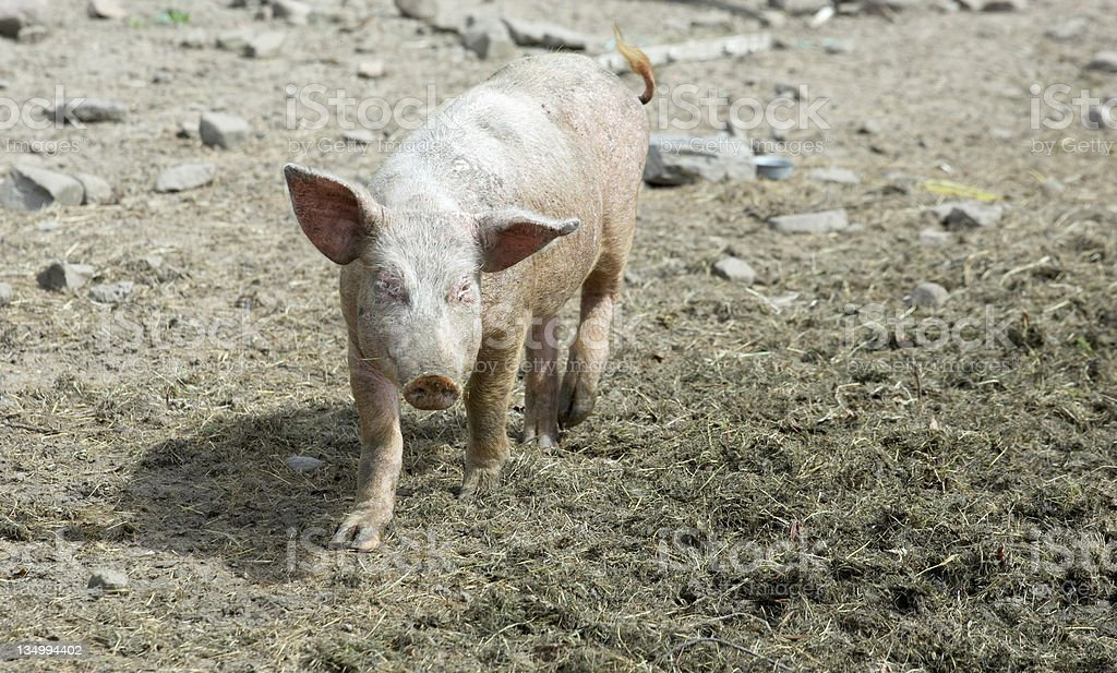 Inquisitive pig royalty-free stock photo
