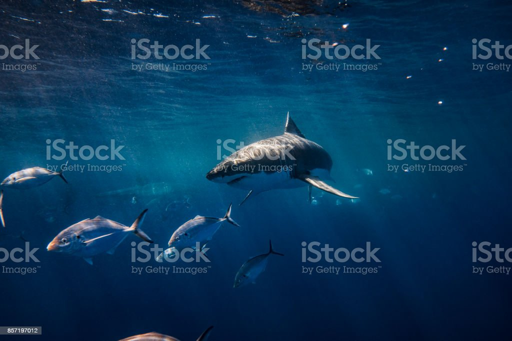 Inquisitive shark stock photo