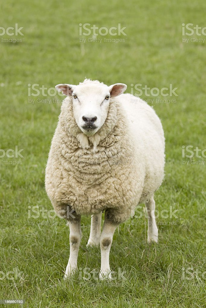 Inquisitive Sheep. stock photo