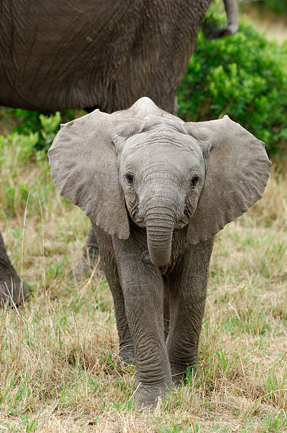 Inquisitive Wild Baby Elephant Inquisitive wild baby African elephant (Loxodonta africana) with ears spread out. elephant calf stock pictures, royalty-free photos & images