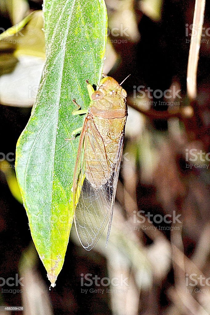 insect a cicada sits on green plant royalty-free stock photo