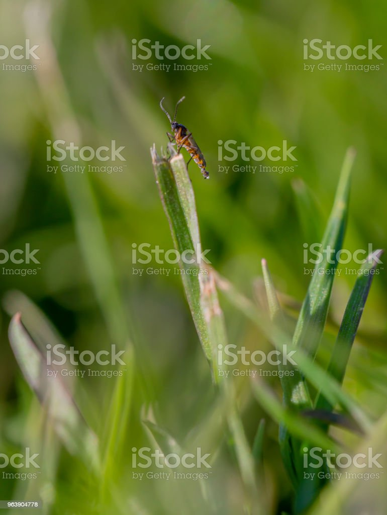 Insect an a straw - Royalty-free Animal Stock Photo