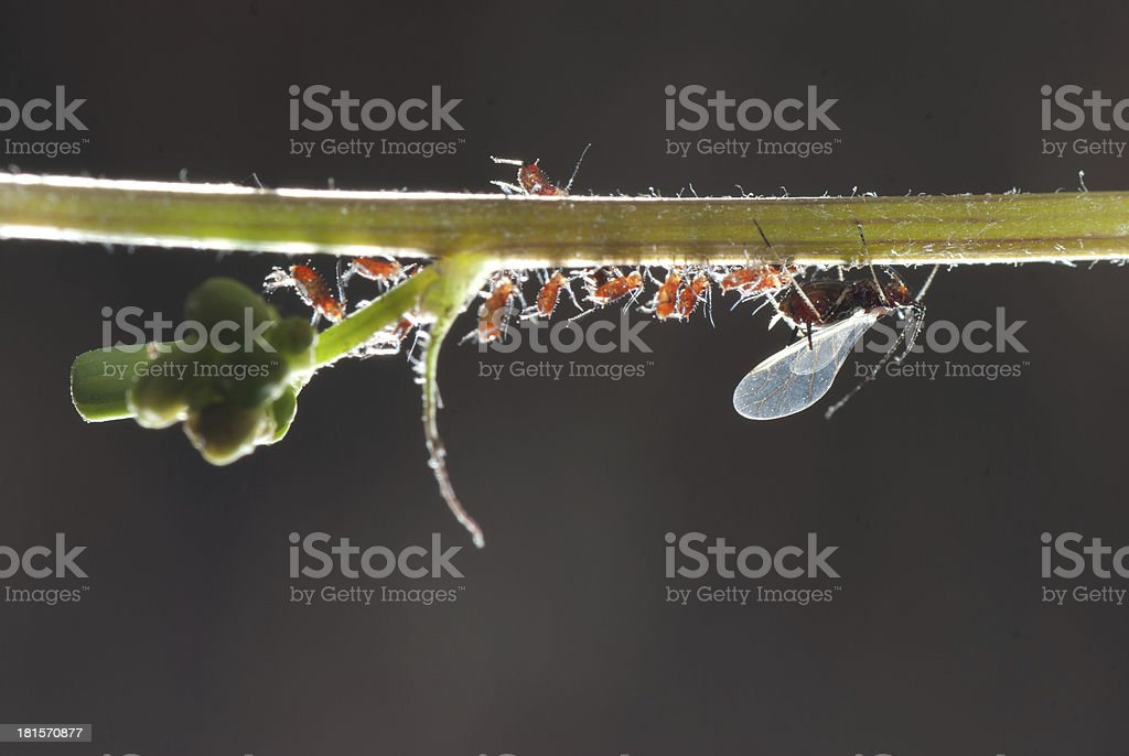 insect aphid family stock photo