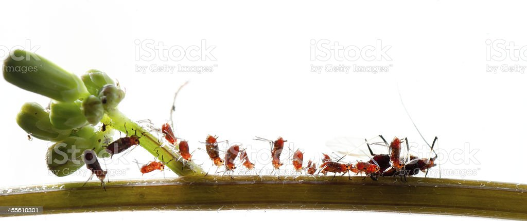 insect aphid family royalty-free stock photo