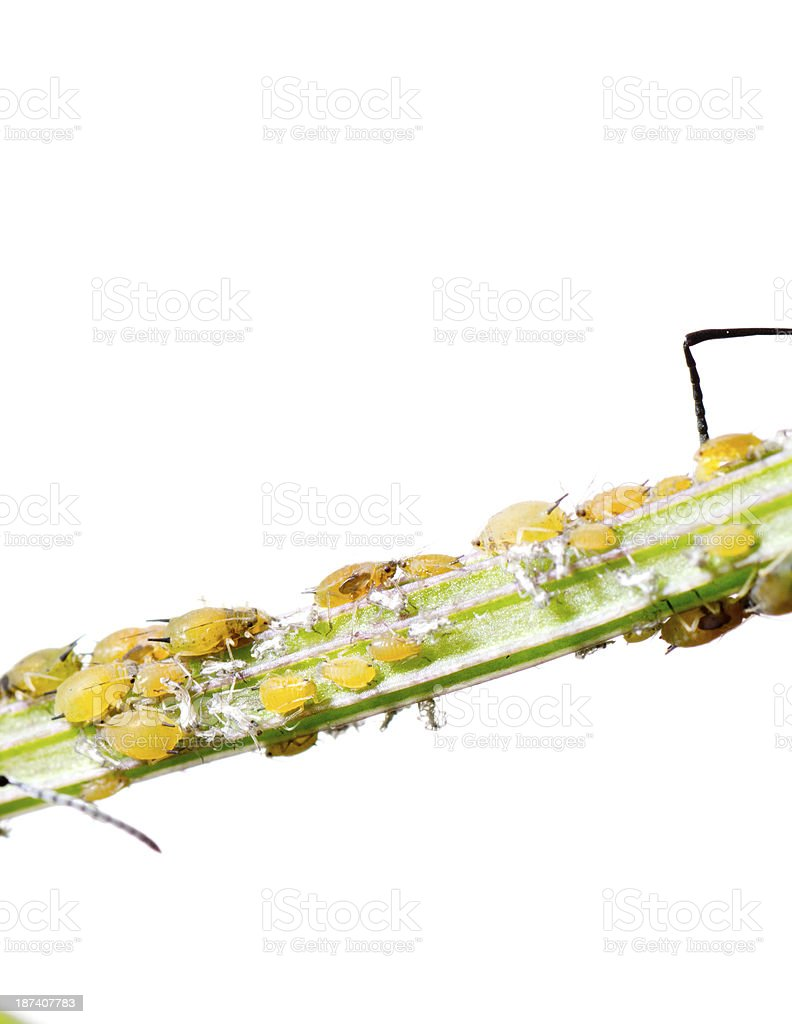insect aphid stock photo