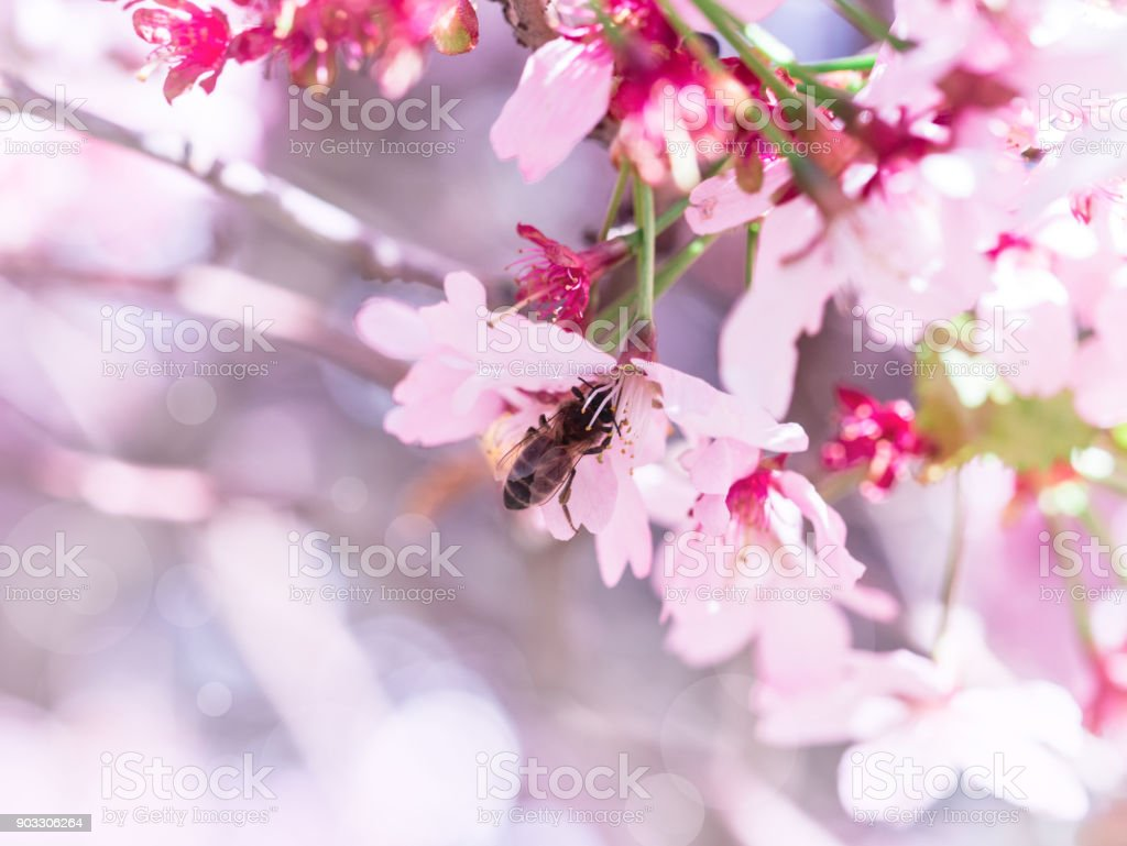 Insect bee flew to branch of cherry blossoms, collecting nectar. A Sunny day in the spring. stock photo