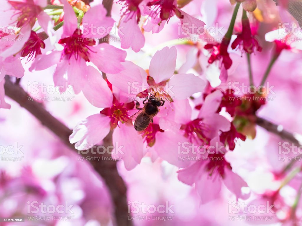 Insect bee flew to branch of cherry blossoms, collecting nectar. A Sunny day in the spring. Pollination stock photo
