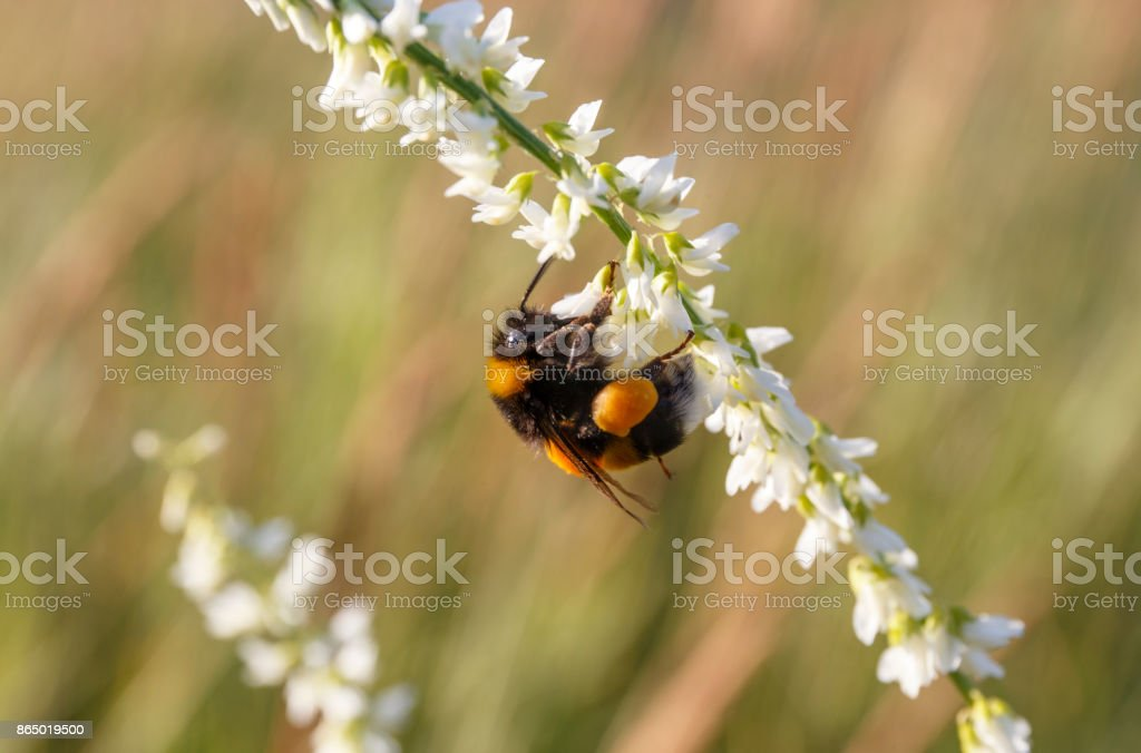 insect bee on a white flower. stock photo