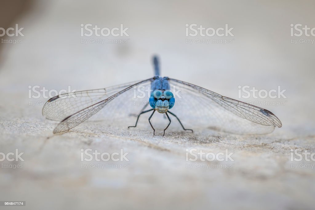 Insect blue dragonfly in nature royalty-free stock photo