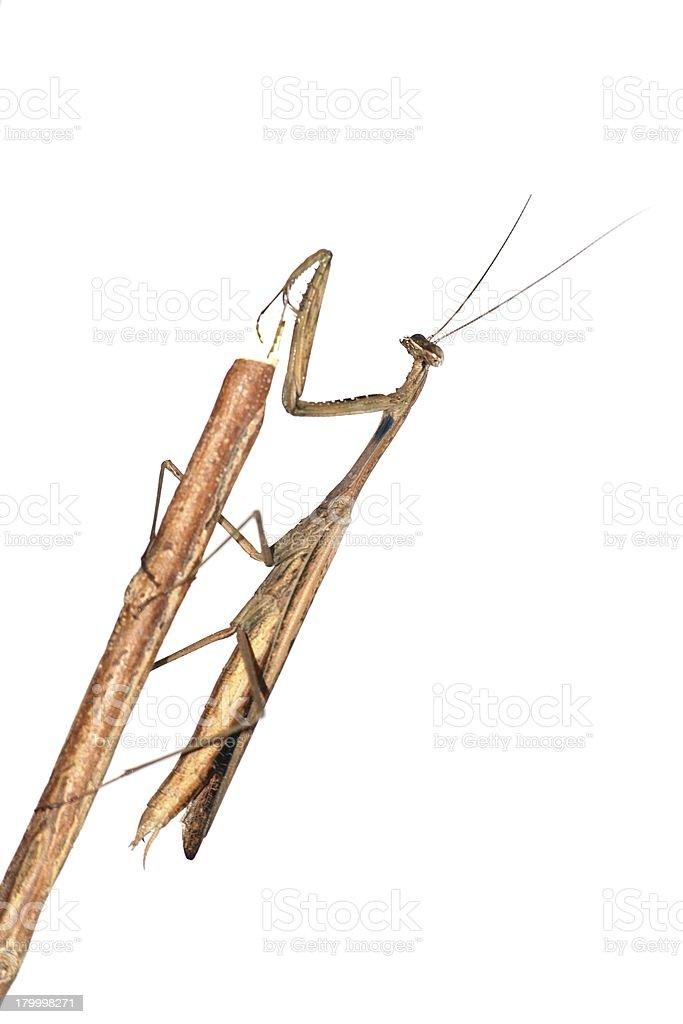 곤충 브라운 mantis 사과 royalty-free 스톡 사진