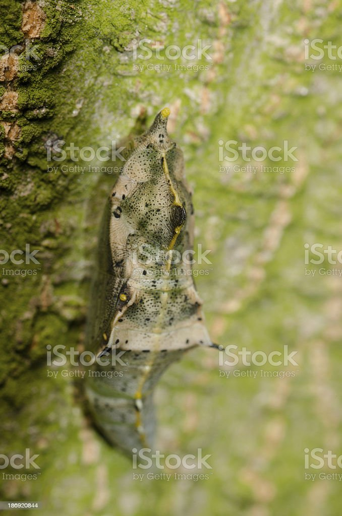 insect butterfly cocoon royalty-free stock photo